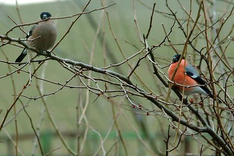 Dompap, ( Pyrrhula pyrrhula ), Bullfinch. Fodderbrætter, Fodring.