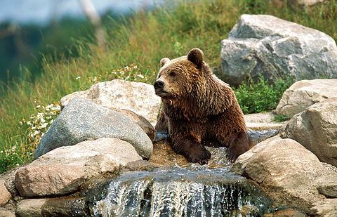 Brune bjørne (Ursus arctos) Brown bear, brun bjørn, björn,