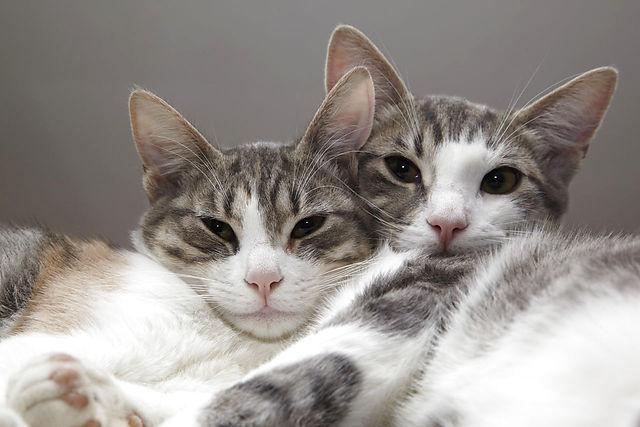 To unge katte (søskene, søster og bror) ligger og hviler sammen