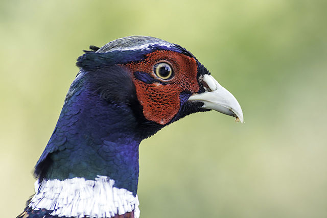 Fasan, (Phasianus colchicus), Fasanfugle, Phasianidae, Common Pheasant